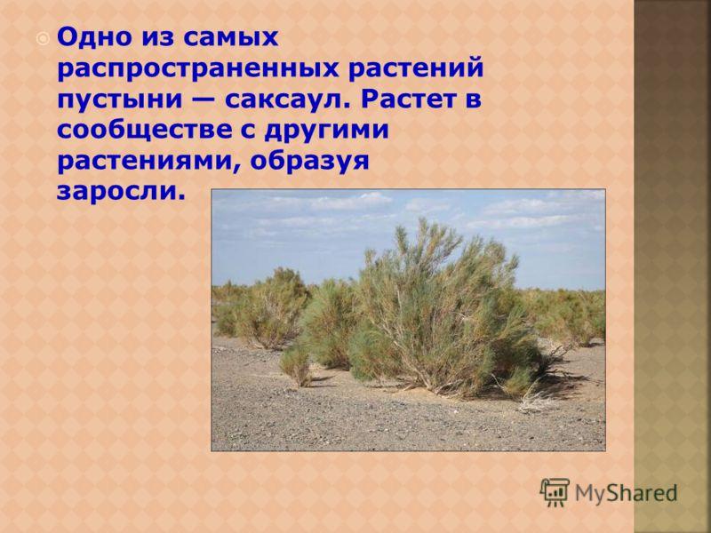 Одно из самых распространенных растений пустыни саксаул. Растет в сообществе с другими растениями, образуя заросли.