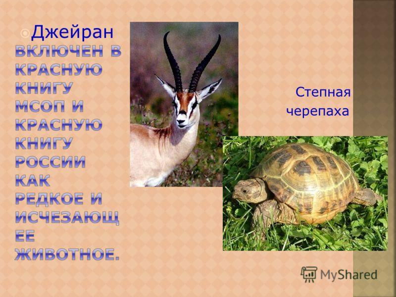 Джейран Степная черепаха