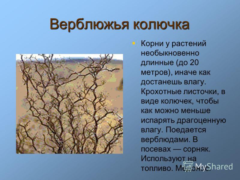 Верблюжья колючка Корни у растений необыкновенно длинные (до 20 метров), иначе как достанешь влагу. Крохотные листочки, в виде колючек, чтобы как можно меньше испарять драгоценную влагу. Поедается верблюдами. В посевах сорняк. Используют на топливо.