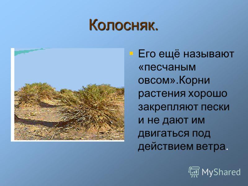 Колосняк. Его ещё называют «песчаным овсом».Корни растения хорошо закрепляют пески и не дают им двигаться под действием ветра.