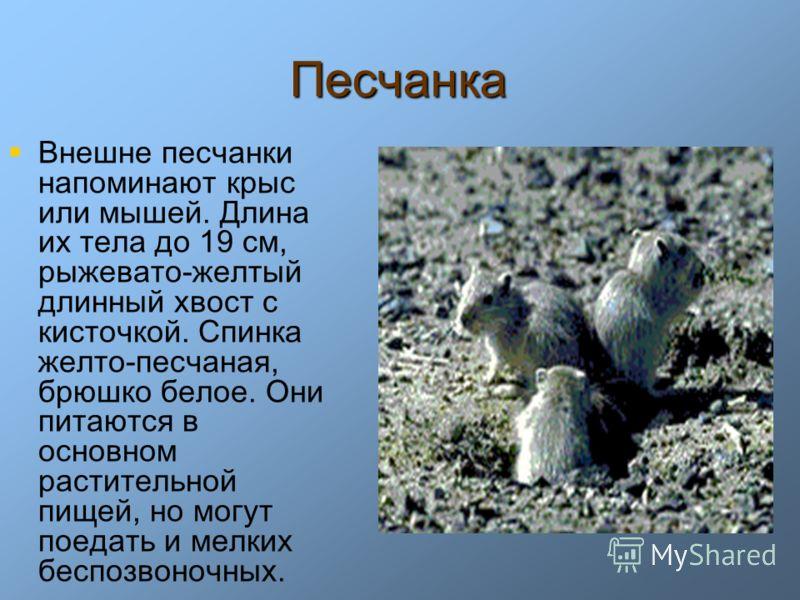 Песчанка Внешне песчанки напоминают крыс или мышей. Длина их тела до 19 см, рыжевато-желтый длинный хвост с кисточкой. Спинка желто-песчаная, брюшко белое. Они питаются в основном растительной пищей, но могут поедать и мелких беспозвоночных.