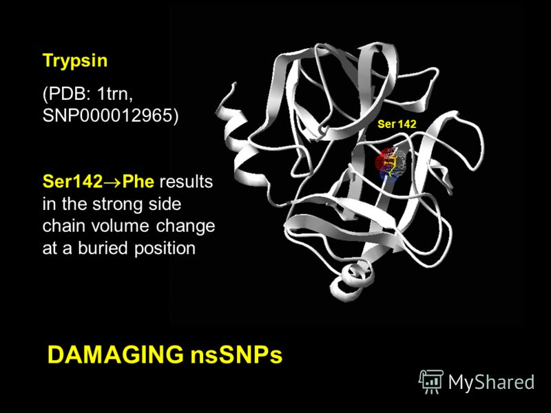 DAMAGING nsSNPs Trypsin (PDB: 1trn, SNP000012965) Ser142 Phe results in the strong side chain volume change at a buried position Ser 142