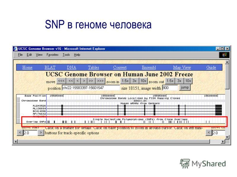SNP в геноме человека