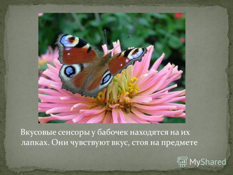 Вкусовые сенсоры у бабочек находятся на их лапках. Они чувствуют вкус, стоя на предмете