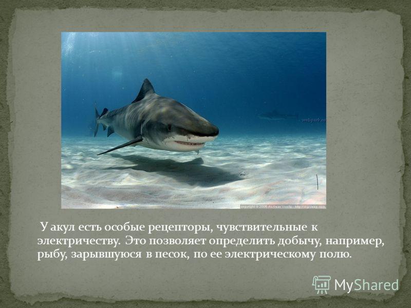 У акул есть особые рецепторы, чувствительные к электричеству. Это позволяет определить добычу, например, рыбу, зарывшуюся в песок, по ее электрическому полю.