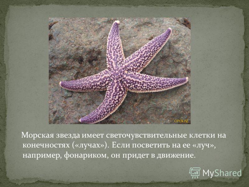 Морская звезда имеет светочувствительные клетки на конечностях («лучах»). Если посветить на ее «луч», например, фонариком, он придет в движение.