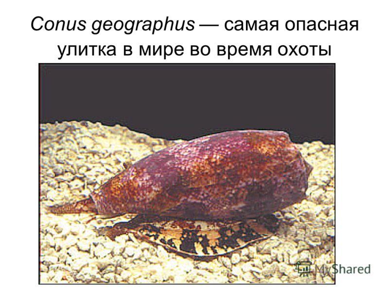 Conus geographus самая опасная улитка в мире во время охоты