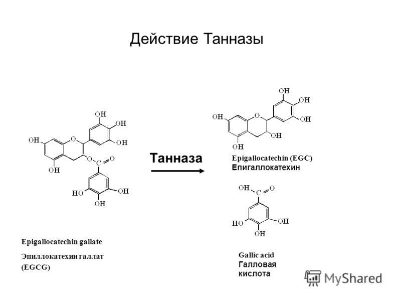 Танназа Epigallocatechin gallate Эпиллокатехин галлат (EGCG) Epigallocatechin (EGC) Епигаллокатехин Gallic acid Галловая кислота Действие Танназы