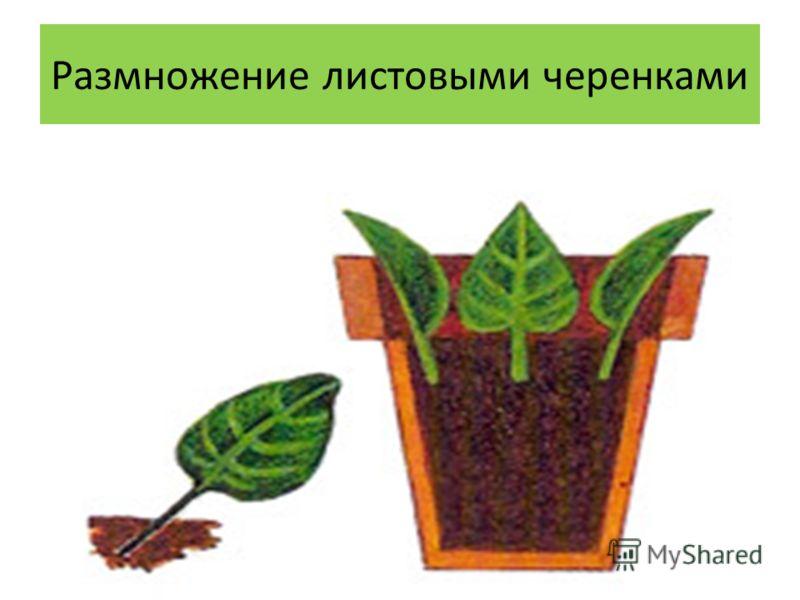 Размножение листовыми черенками