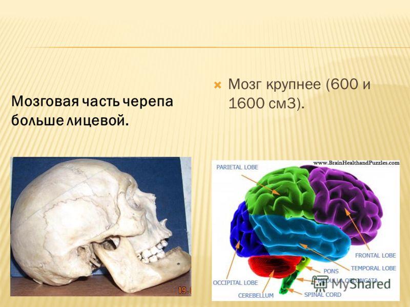 Мозг крупнее (600 и 1600 см3). Мозговая часть черепа больше лицевой.