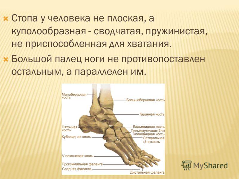 Стопа у человека не плоская, а куполообразная - сводчатая, пружинистая, не приспособленная для хватания. Большой палец ноги не противопоставлен остальным, а параллелен им.