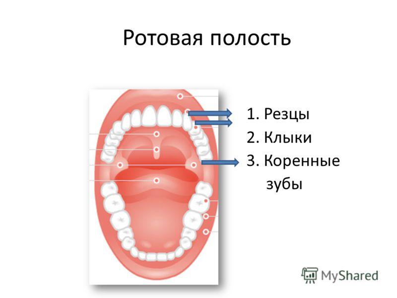Ротовая полость 1. Резцы 2. Клыки 3. Коренные зубы