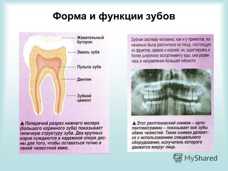 Форма и функции зубов