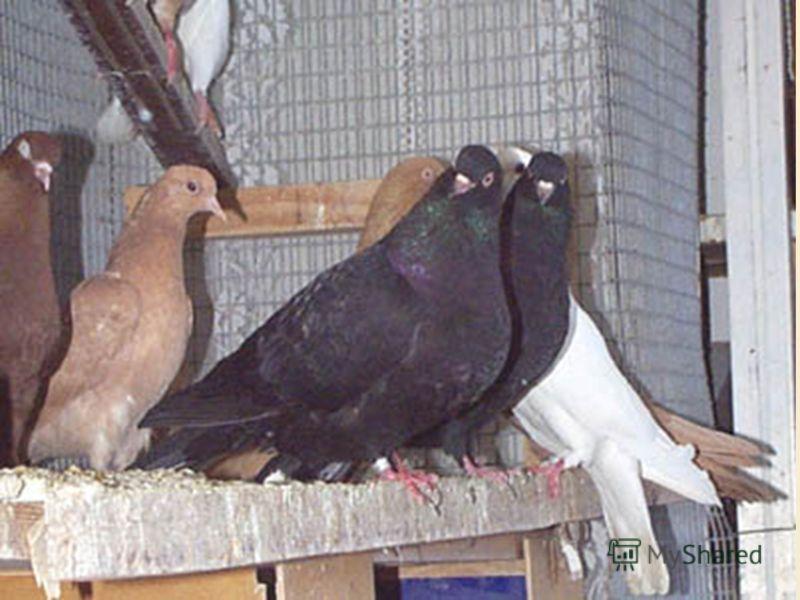 Голуби Голубеводство - многовековая традиция русского народа. Отечественное голубеводство своими корнями уходит в глубокую древность. Однако первые упоминания о голубях относятся к 15-16 веку.