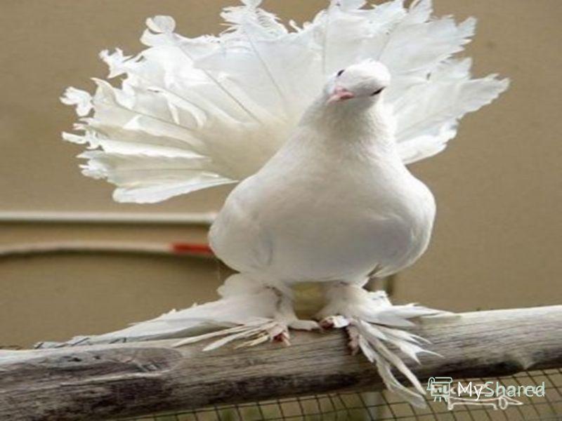 Павлиньи голуби (павлины) - очень старинная порода, происходящая из Северо-Восточной Индии. В Европу была завезена более 300 лет тому назад. Разводить павлиньих голубей начали в Голландии и Англии, затем они распространились по всей Европе. Описание