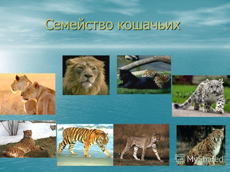 Семейство кошачьих Семейство кошачьих