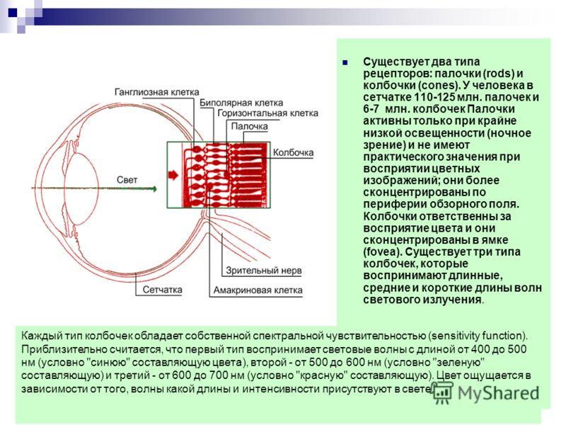 Существует два типа рецепторов: палочки (rods) и колбочки (cones). У человека в сетчатке 110-125 млн. палочек и 6-7 млн. колбочек Палочки активны только при крайне низкой освещенности (ночное зрение) и не имеют практического значения при восприятии ц