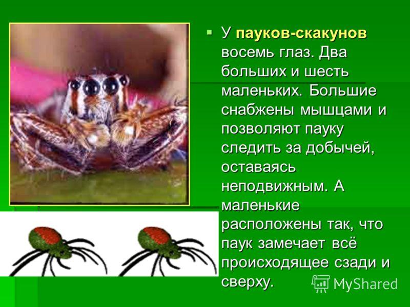У пауков-скакунов восемь глаз. Два больших и шесть маленьких. Большие снабжены мышцами и позволяют пауку следить за добычей, оставаясь неподвижным. А маленькие расположены так, что паук замечает всё происходящее сзади и сверху. У пауков-скакунов восе