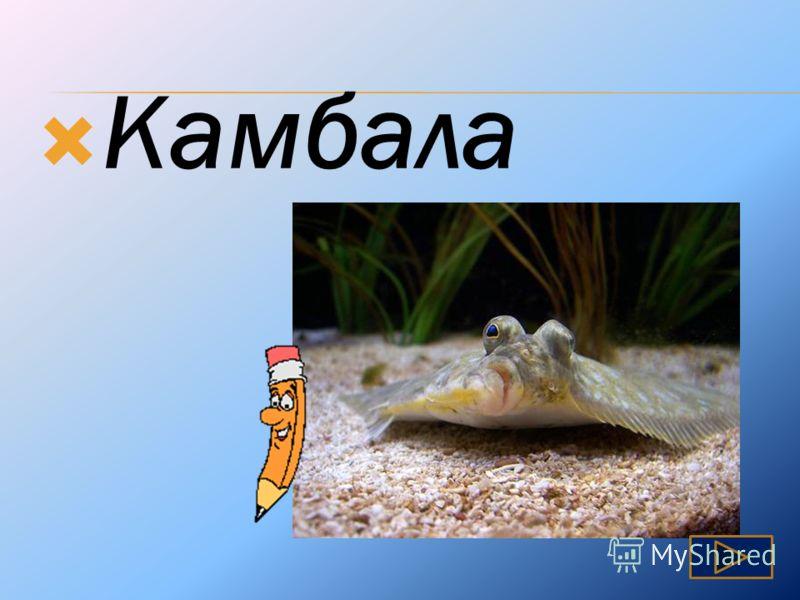 Известная рыба, плоская по форме, у которой оба глаза расположены на одной стороне.