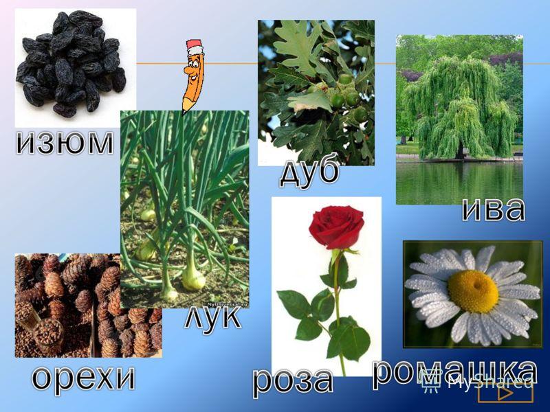 И дерево, и тупица И растение, и стрелковое оружие И цветок, и женское имя И город, и сушеный виноград Цветок для гадания Плакучее дерево Семена кедра