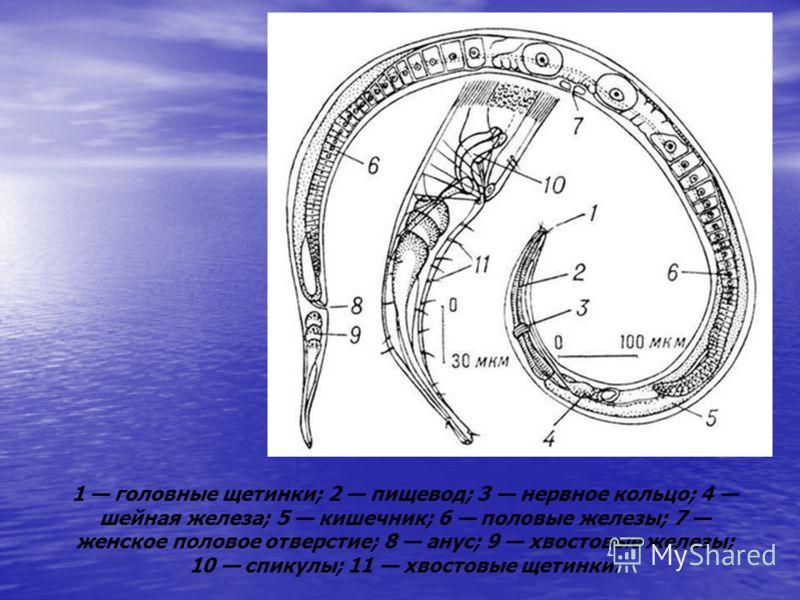 1 головные щетинки; 2 пищевод; 3 нервное кольцо; 4 шейная железа; 5 кишечник; 6 половые железы; 7 женское половое отверстие; 8 анус; 9 хвостовые железы; 10 спикулы; 11 хвостовые щетинки.