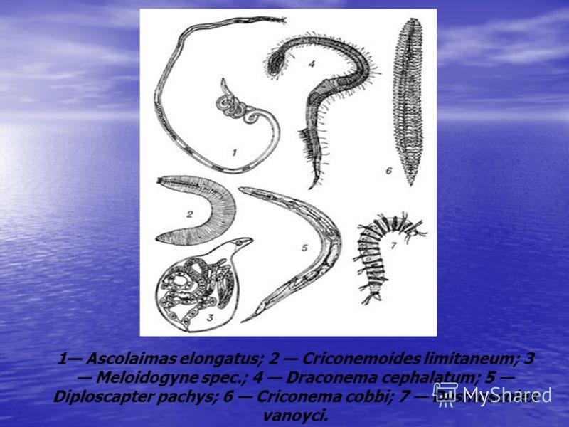 1 Ascolaimas elongatus; 2 Criconemoides limitaneum; 3 Meloidogyne spec.; 4 Draconema cephalatum; 5 Diploscapter pachys; 6 Criconema cobbi; 7 Desmoscolex vanoyci.