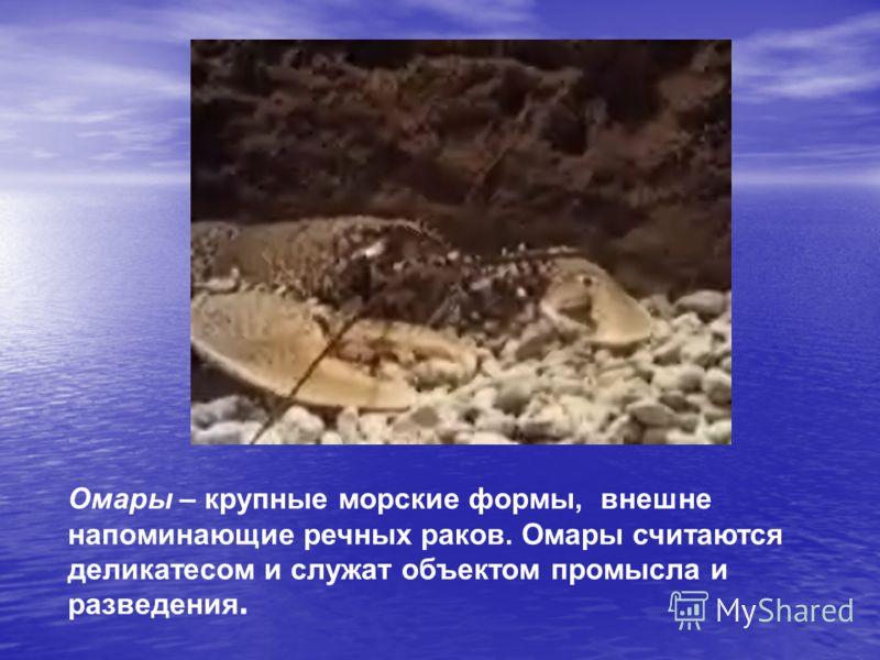 Омары – крупные морские формы, внешне напоминающие речных раков. Омары считаются деликатесом и служат объектом промысла и разведения.
