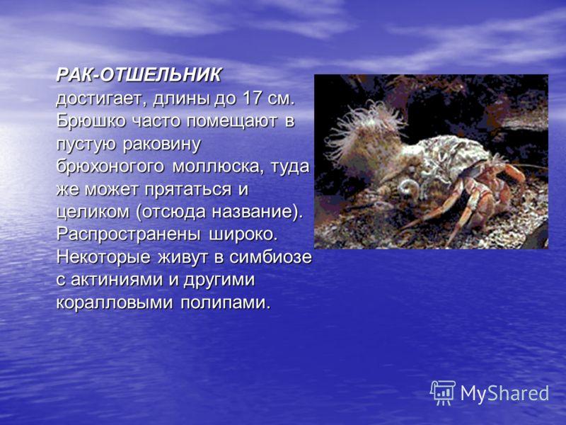 РАК-ОТШЕЛЬНИК достигает, длины до 17 см. Брюшко часто помещают в пустую раковину брюхоногого моллюска, туда же может прятаться и целиком (отсюда название). Распространены широко. Некоторые живут в симбиозе с актиниями и другими коралловыми полипами.