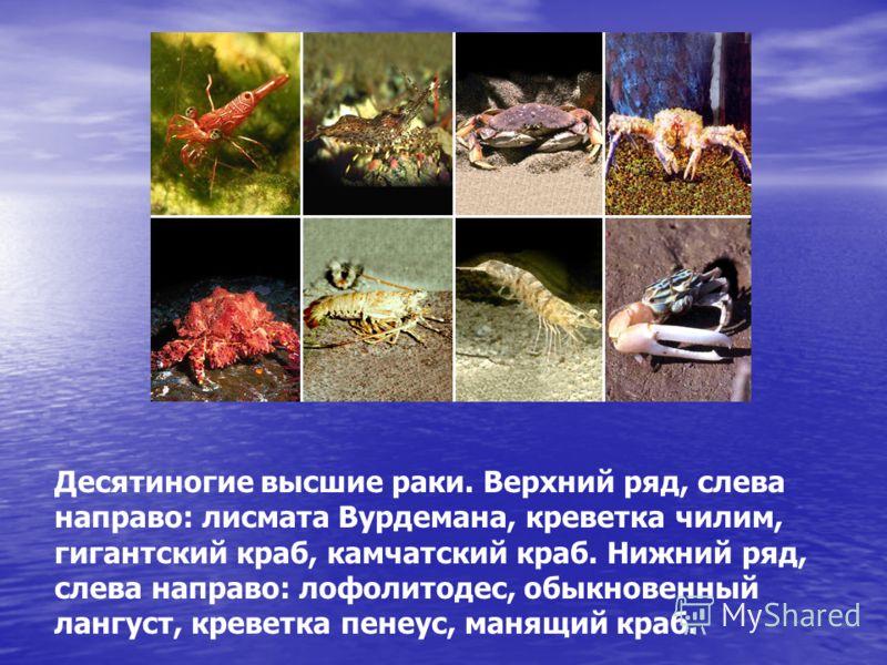 Десятиногие высшие раки. Верхний ряд, слева направо: лисмата Вурдемана, креветка чилим, гигантский краб, камчатский краб. Нижний ряд, слева направо: лофолитодес, обыкновенный лангуст, креветка пенеус, манящий краб.