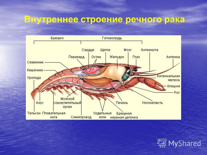Внутреннее строение речного рака
