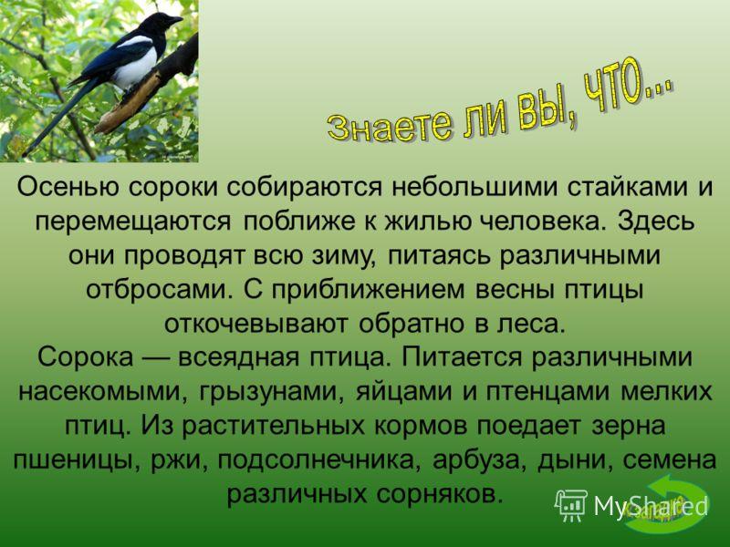 Осенью сороки собираются небольшими стайками и перемещаются поближе к жилью человека. Здесь они проводят всю зиму, питаясь различными отбросами. С приближением весны птицы откочевывают обратно в леса. Сорока всеядная птица. Питается различными насеко