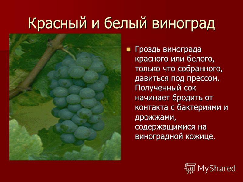 Красный и белый виноград Гроздь винограда красного или белого, только что собранного, давиться под прессом. Полученный сок начинает бродить от контакта с бактериями и дрожжами, содержащимися на виноградной кожице. Гроздь винограда красного или белого