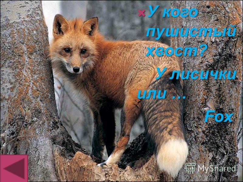 У кого пушистый хвост? У кого пушистый хвост? У лисички или … У лисички или … Fox Fox