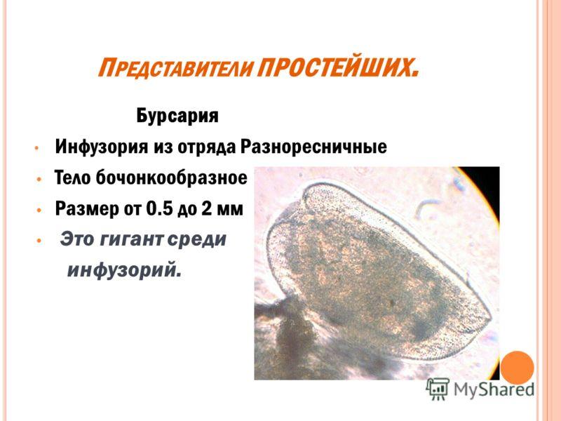 А МЕБА ПРОТЕЙ корненожка из отряда Амебы имеет непостоянную форму размер не превышает 600 мкм