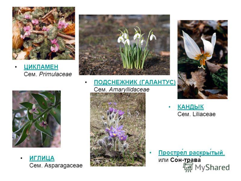 ЦИКЛАМЕН Cем. PrimulaceaeЦИКЛАМЕН ПОДСНЕЖНИК (ГАЛАНТУС) Сем. AmaryllidaceaeПОДСНЕЖНИК (ГАЛАНТУС) КАНДЫК Cем. Liliaceae ИГЛИЦА Сем. AsparagaceaeИГЛИЦА Простре́л раскры́тый, или Со́н-трава́