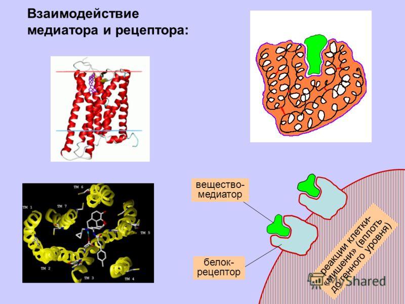 реакции клетки- «мишени» (вплоть до генного уровня) белок- рецептор вещество- медиатор Взаимодействие медиатора и рецептора: