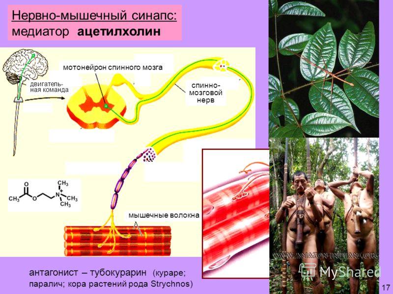 17 Нервно-мышечный синапс: медиатор ацетилхолин мотонейрон спинного мозга спинно- мозговой нерв мышечные волокна антагонист – тубокурарин (кураре; паралич; кора растений рода Strychnos) двигатель- ная команда