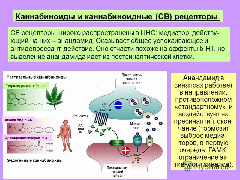 Каннабиноиды и каннабиноидные (СВ) рецепторы. СВ рецепторы широко распространены в ЦНС; медиатор, действу- ющий на них – анандамид. Оказывает общее успокаивающее и антидепрессант. действие. Оно отчасти похоже на эффекты 5-НТ, но выделение анандамида