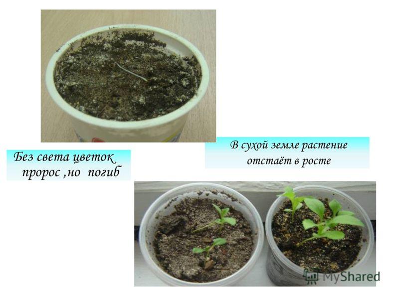 Без света цветок пророс,но погиб В сухой земле растение отстаёт в росте