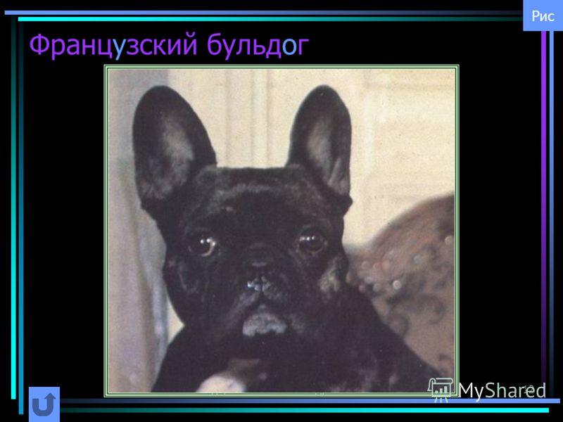 Шурута Станислав Гендрикович12 Французский бульдог Рис