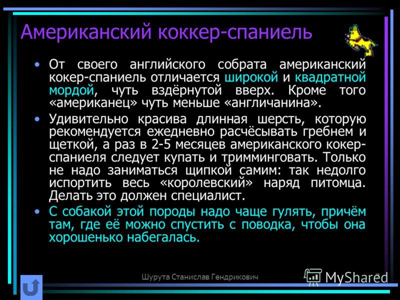 Шурута Станислав Гендрикович7 Американский коккер-спаниель От своего английского собрата американский кокер-спаниель отличается широкой и квадратной мордой, чуть вздёрнутой вверх. Кроме того «американец» чуть меньше «англичанина». Удивительно красива