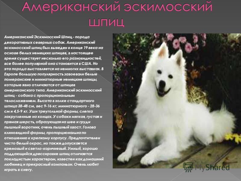 Американский Эскимосский Шпиц,- порода декоративных северных собак. Американский эскимосский шпиц был выведен в конце 19 века на основе белых немецких шпицев, в настоящее время существует несколько его разновидностей, все более популярной она станови
