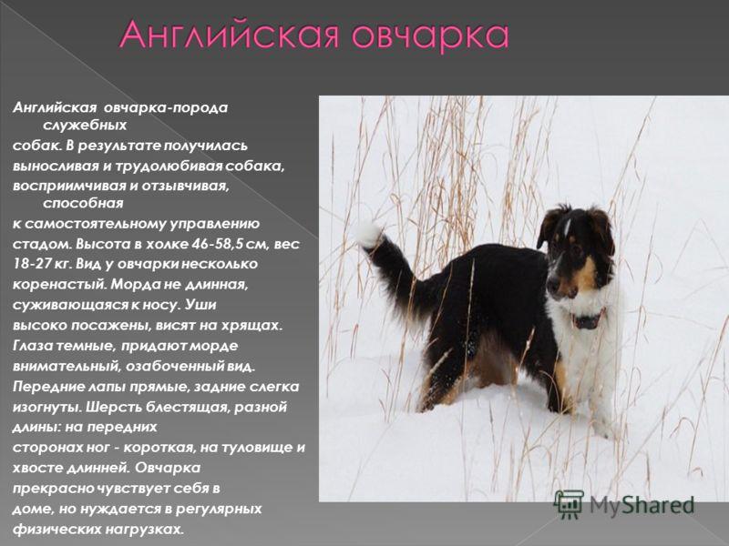 Английская овчарка-порода служебных собак. В результате получилась выносливая и трудолюбивая собака, восприимчивая и отзывчивая, способная к самостоятельному управлению стадом. Высота в холке 46-58,5 см, вес 18-27 кг. Вид у овчарки несколько коренаст
