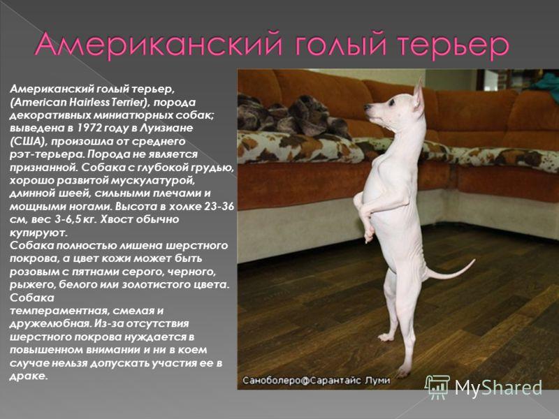 Американский голый терьер, (American Hairless Terrier), порода декоративных миниатюрных собак; выведена в 1972 году в Луизиане (США), произошла от среднего рэт-терьера. Порода не является признанной. Собака с глубокой грудью, хорошо развитой мускулат