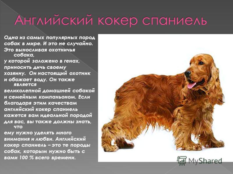 Одна из самых популярных пород собак в мире. И это не случайно. Это выносливая охотничья собака, у которой заложено в генах, приносить дичь своему хозяину. Он настоящий охотник и обожает воду. Он также является великолепной домашней собакой и семейны