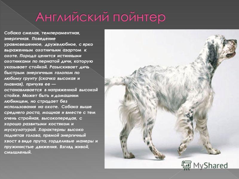 Собака смелая, темпераментная, энергичная. Поведение уравновешенное, дружелюбное, с ярко выраженным охотничьим азартом к охоте. Порода ценится истинными охотниками по пернатой дичи, которую указывает стойкой. Разыскивает дичь быстрым энергичным галоп