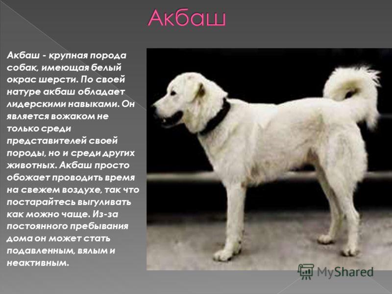 Акбаш - крупная порода собак, имеющая белый окрас шерсти. По своей натуре акбаш обладает лидерскими навыками. Он является вожаком не только среди представителей своей породы, но и среди других животных. Акбаш просто обожает проводить время на свежем