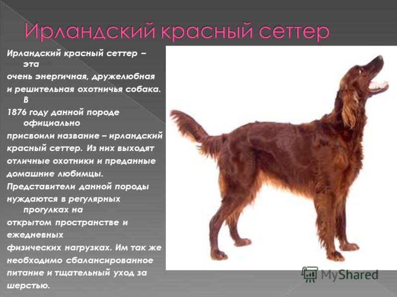 Ирландский красный сеттер – эта очень энергичная, дружелюбная и решительная охотничья собака. В 1876 году данной породе официально присвоили название – ирландский красный сеттер. Из них выходят отличные охотники и преданные домашние любимцы. Представ