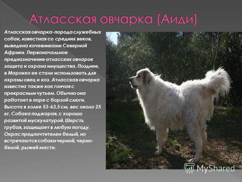 Атласская овчарка-порода служебных собак, известная со средних веков, выведена кочевниками Северной Африки. Первоначальное предназначение атласских овчарок защита и охрана имущества. Позднее, в Марокко ее стали использовать для охраны овец и коз. Атл