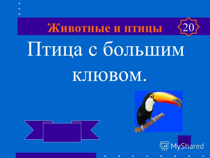 Животные и птицы Самый большой грызун. Водосвинка капибара 20